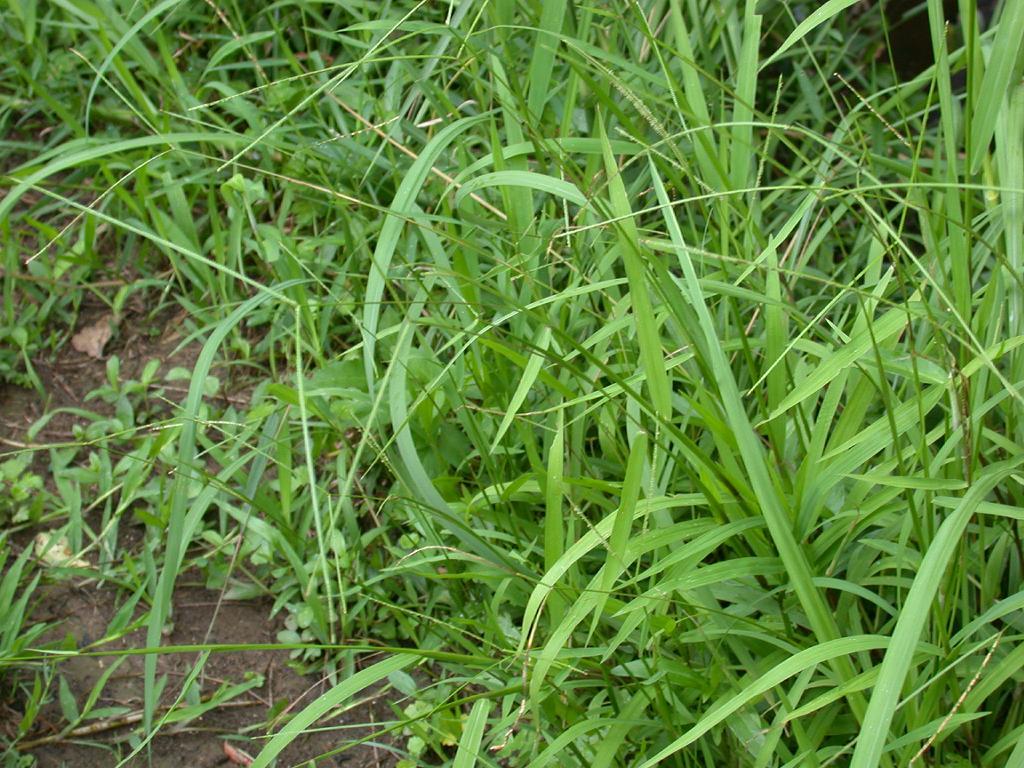 Buffalo grass paspalum conjugatum feedipedia for Plants and grass
