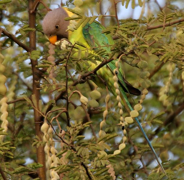 Babul Acacia Nilotica Feedipedia