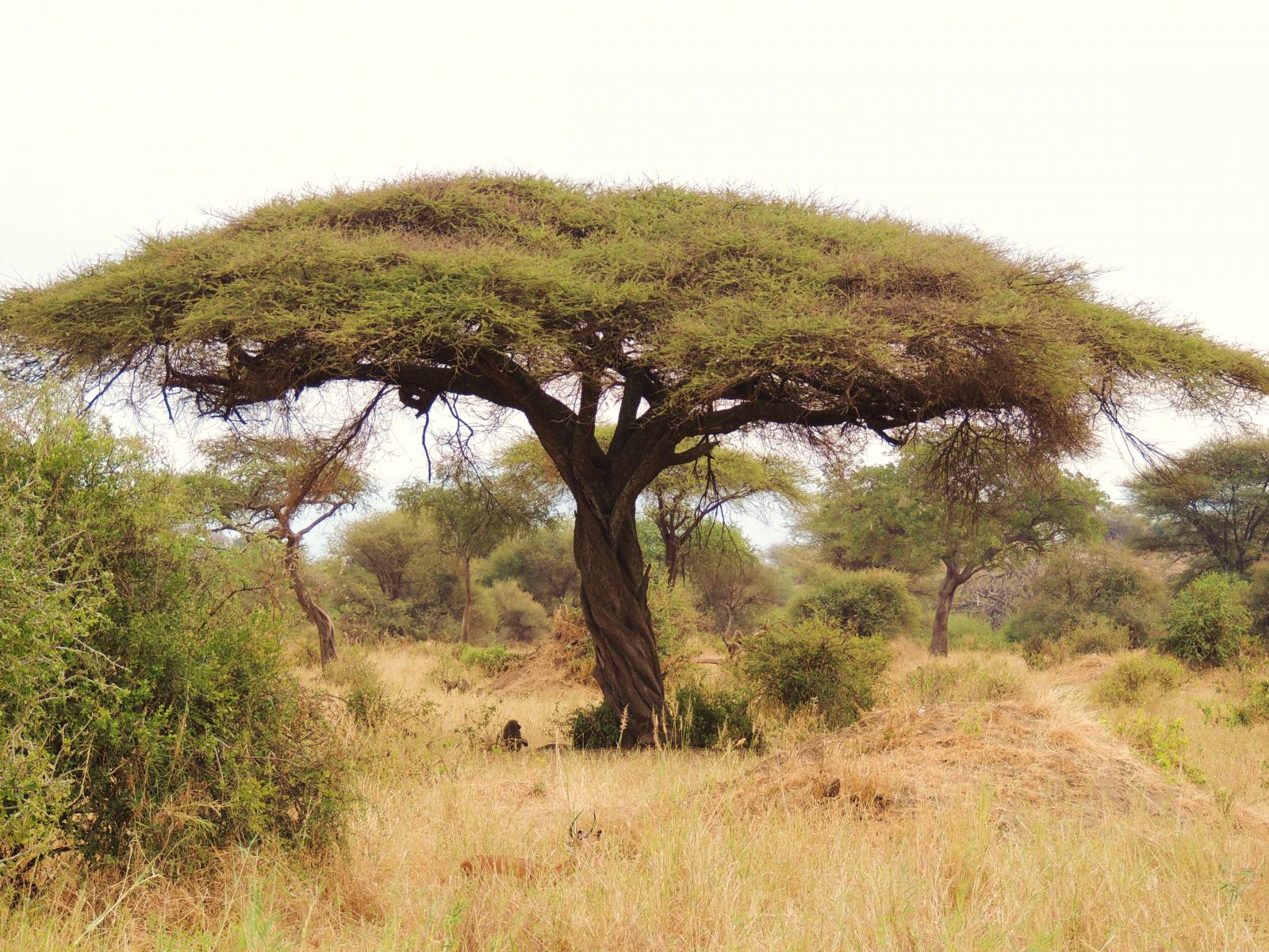how to draw an acacia tree