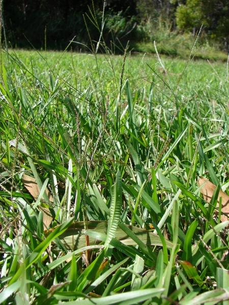 Carpet grass axonopus fissifolius feedipedia carpet grass axonopus fissifolius habit maui hawaii ccuart Image collections