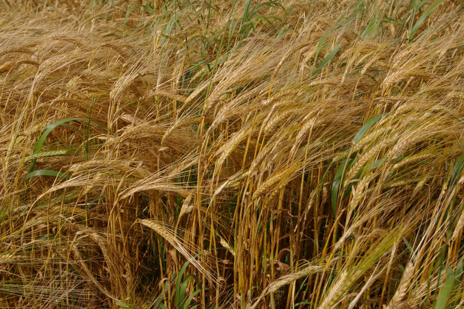 Watch How to Harvest Barley video