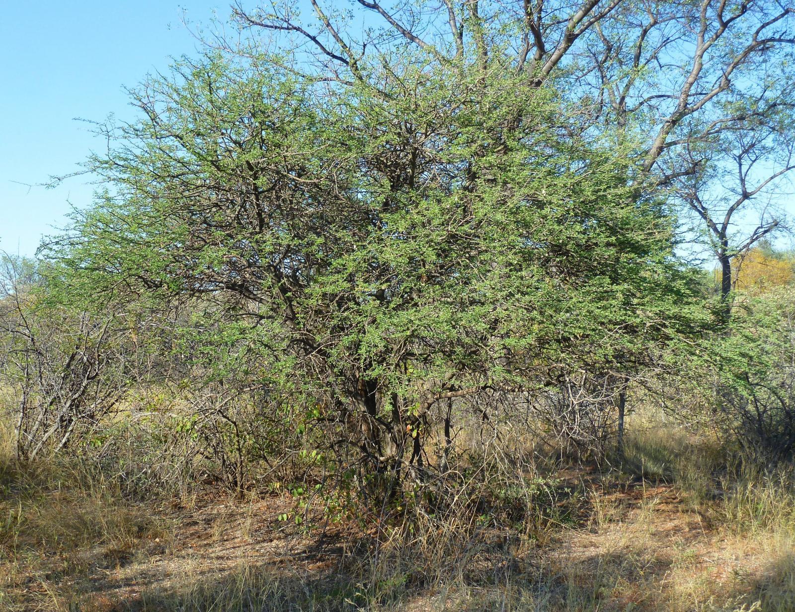 Black Thorn Acacia Mellifera Feedipedia