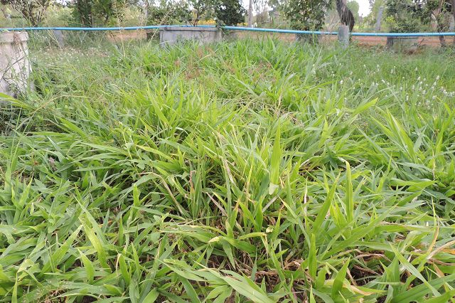 Congo grass (Brachiaria ruziziensis)   Feedipedia