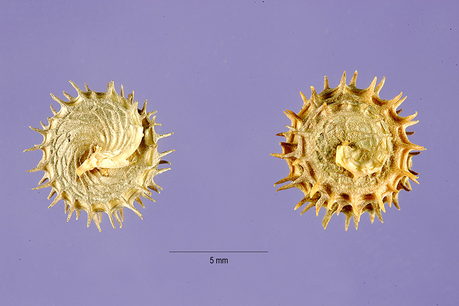 Bur clover (Medicago polymorpha) | Feedipedia