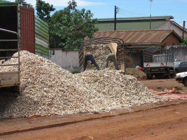 Cassava roots | Feedipedia