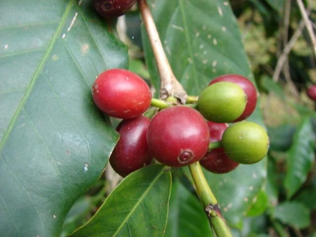 Coffee hulls fruit pulp and by products feedipedia for Coffea arabica