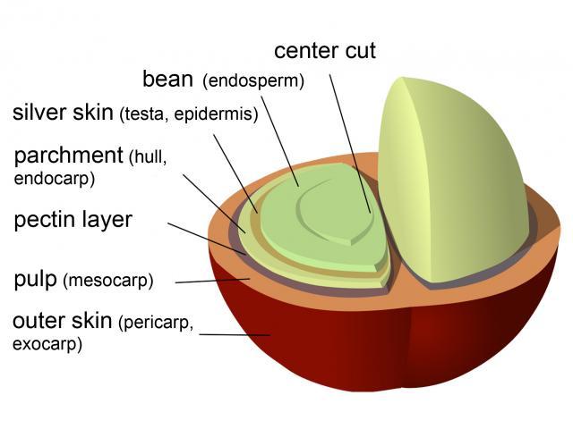 Coffee Fruit Diagram Electrical Work Wiring Diagram