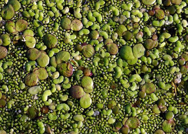 Duckweed feedipedia for Lenticchia d acqua