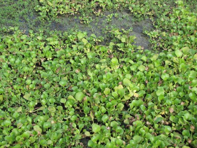 water hyacinth (eichhornia crassipes) feedipedia Purple Loosestrife water hyacinth, central vietnam
