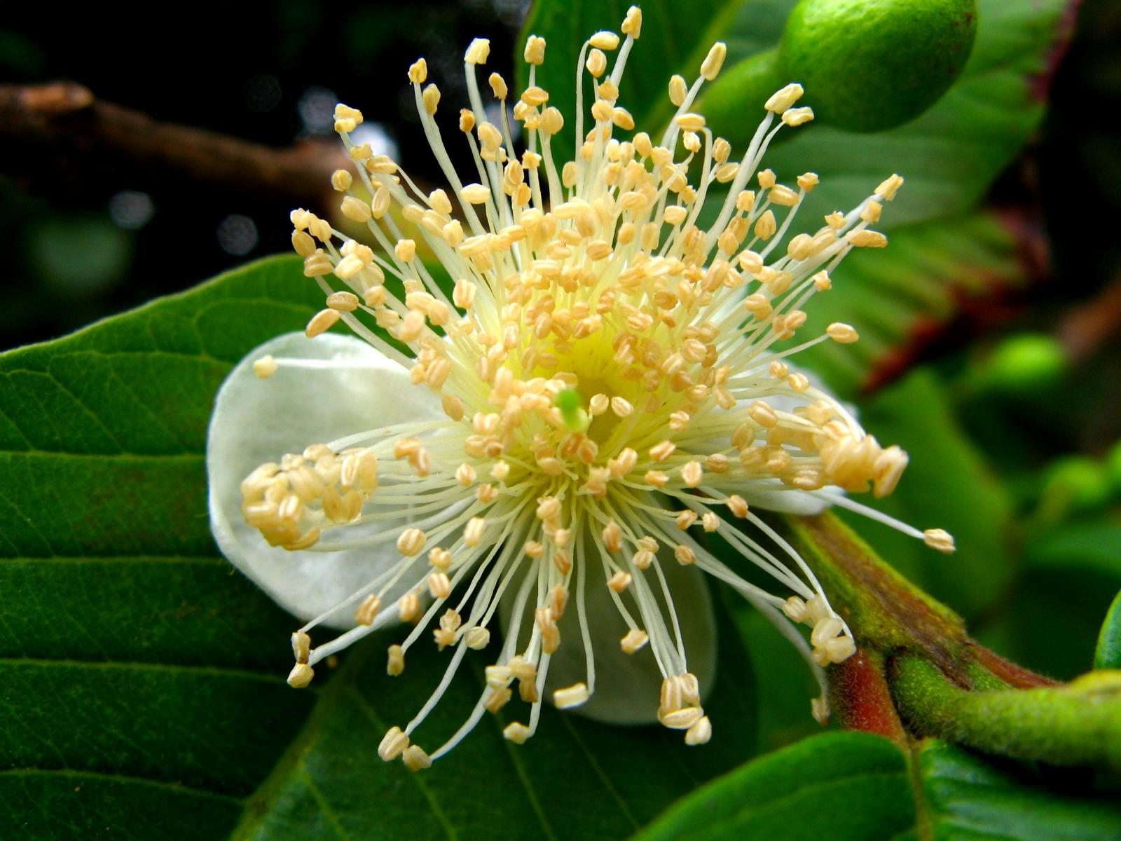 psidium guajava Common name: apple guava, common guava, lemon guava family: myrtaceae synonymous: psidium guajava var cujavillum psidium guajava var guajava psidium guajava var minor.