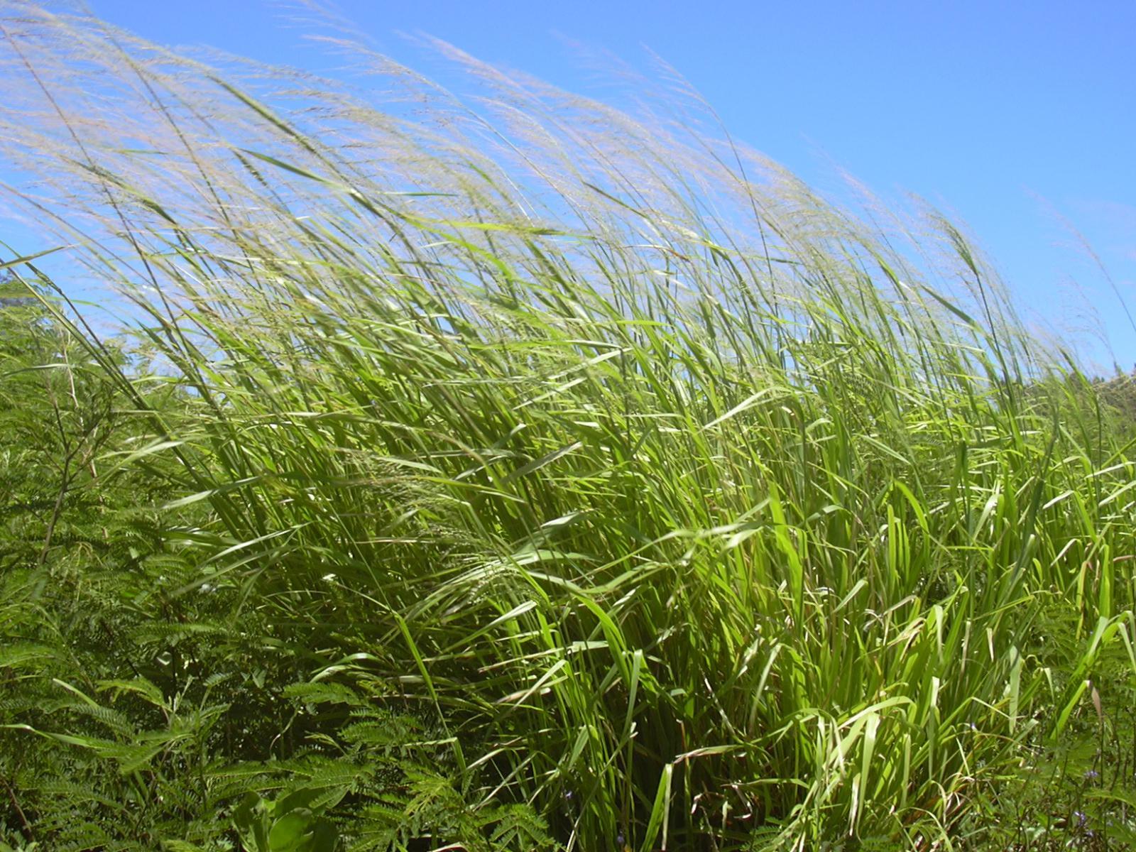 Guinea Grass Megathyrsus Maximus Feedipedia