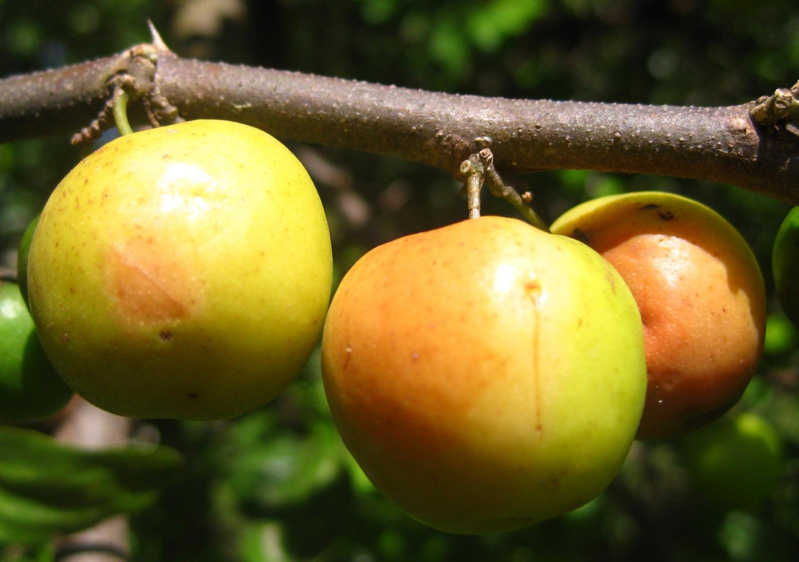 indian jujube ziziphus mauritiana feedipedia