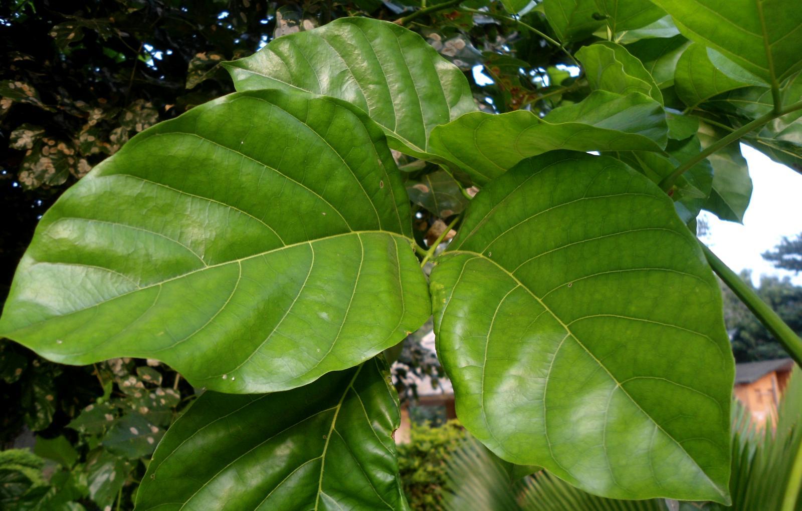 Karanja (Millettia pinnata) | Feedipedia