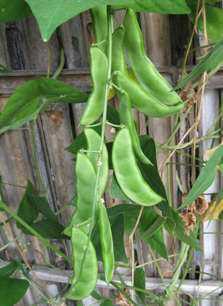 lima bean phaseolus lunatus feedipedia. Black Bedroom Furniture Sets. Home Design Ideas