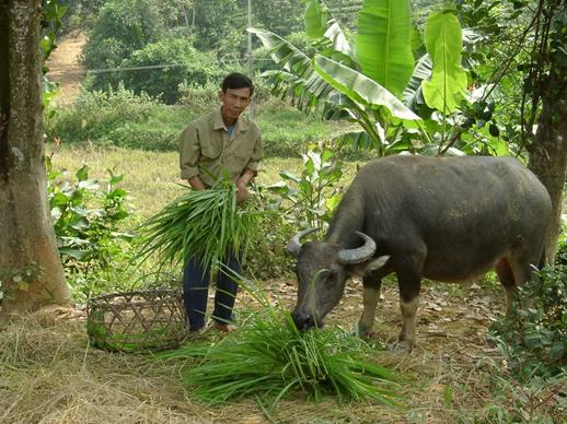 Elephant Grass Pennisetum Purpureum Feedipedia