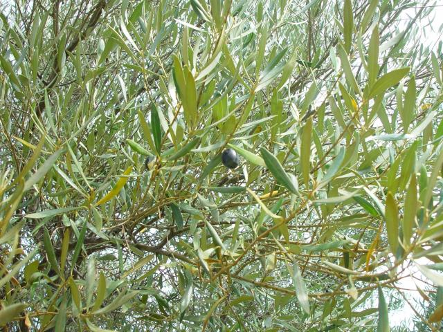 Olive Forage Feedipedia