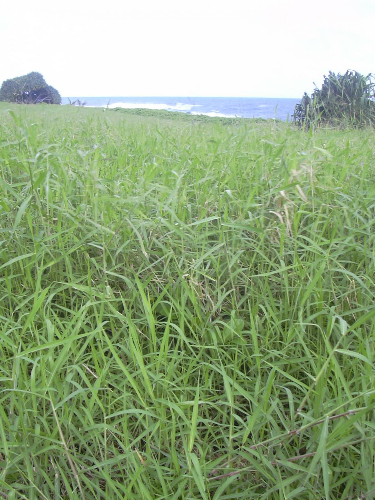 Para grass (Brachiaria mutica)   Feedipedia