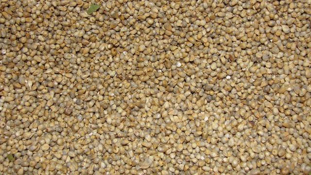 Pearl millet (Pennisetum glaucum), grain   Feedipedia