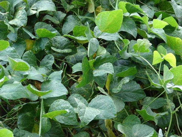 Lima Bean Phaseolus Lunatus Feedipedia