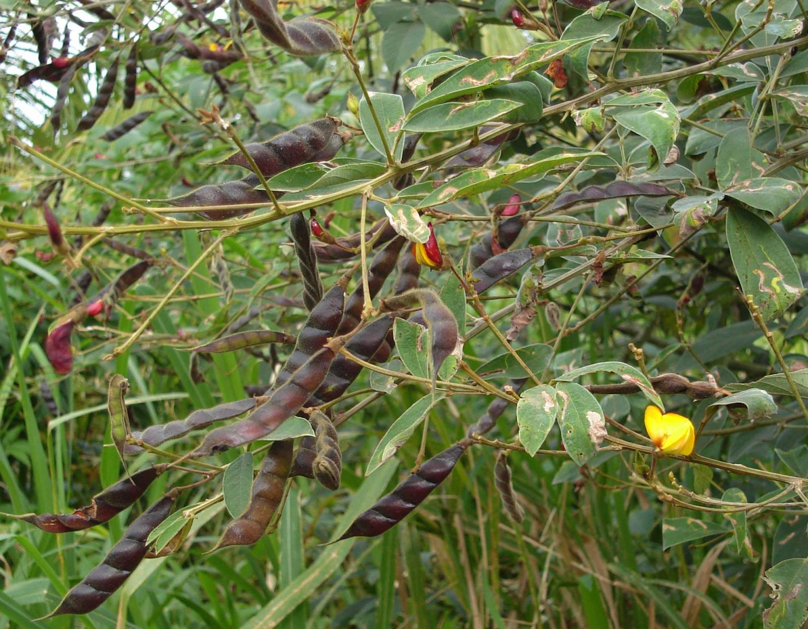 an analysis of the common names for pigeon pea Diseases of chickpea, lentil, pigeon pea mention of a trade name or pro- is infected with the ny 15 strain of bean common mosaic virus healthy plant.