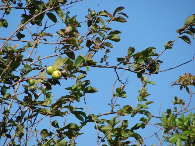 Guava (Psidium guajava) | Feedipedia