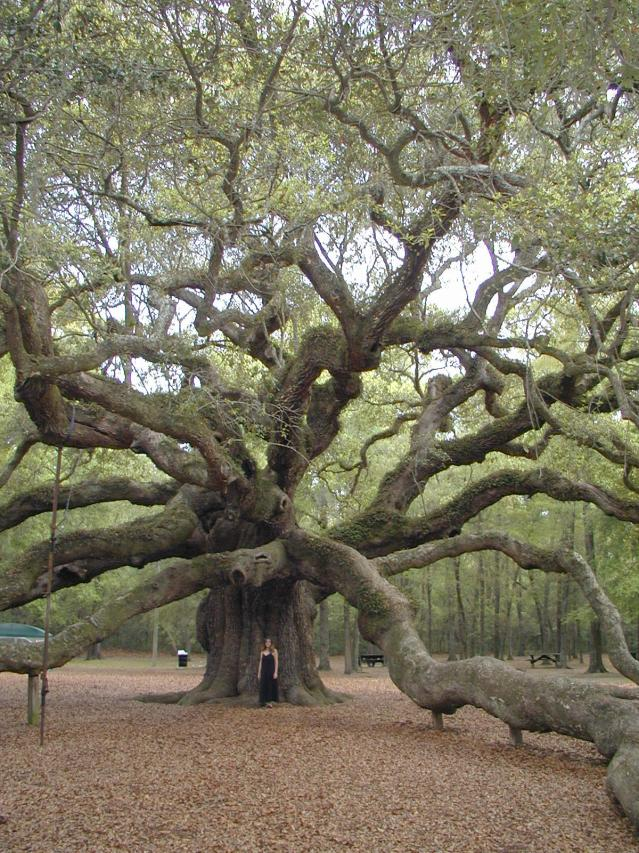 The Angel Oak Tree On Johns Island In South Carolina