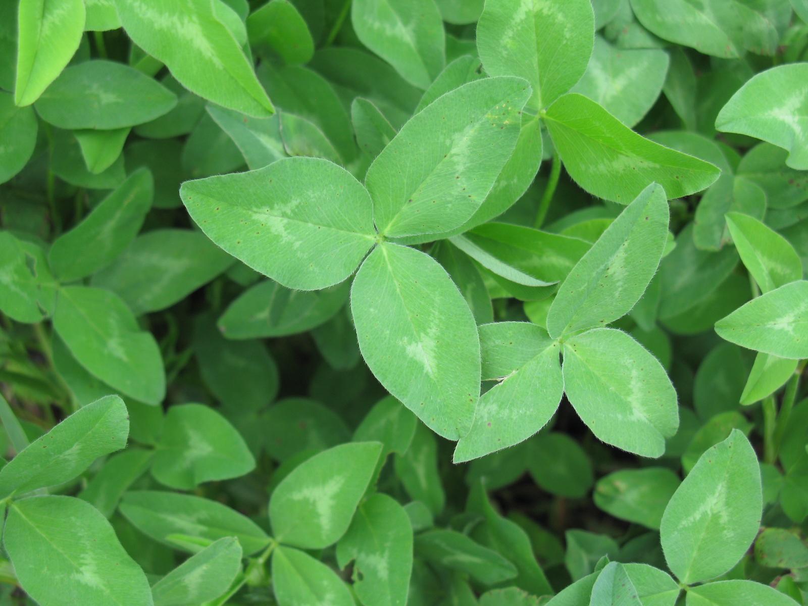 Red clover trifolium pratense feedipedia common names mightylinksfo