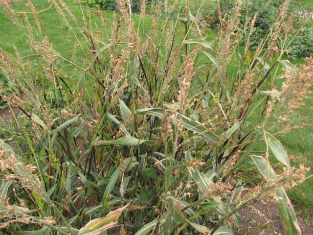 Af7401 bmr brachytic dwarf forage sorghum johnston seed company.