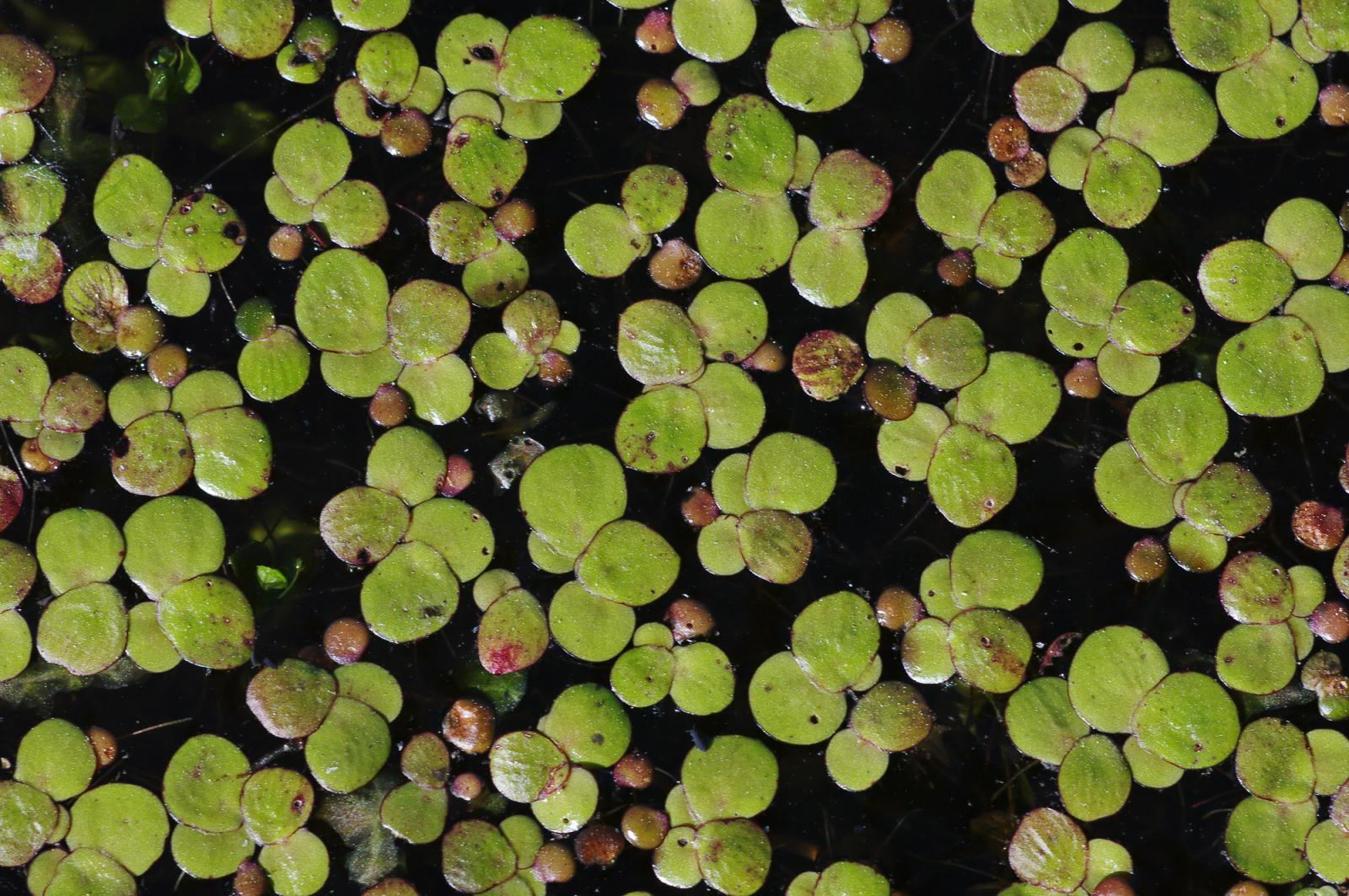 Duckweed | Feedipedia