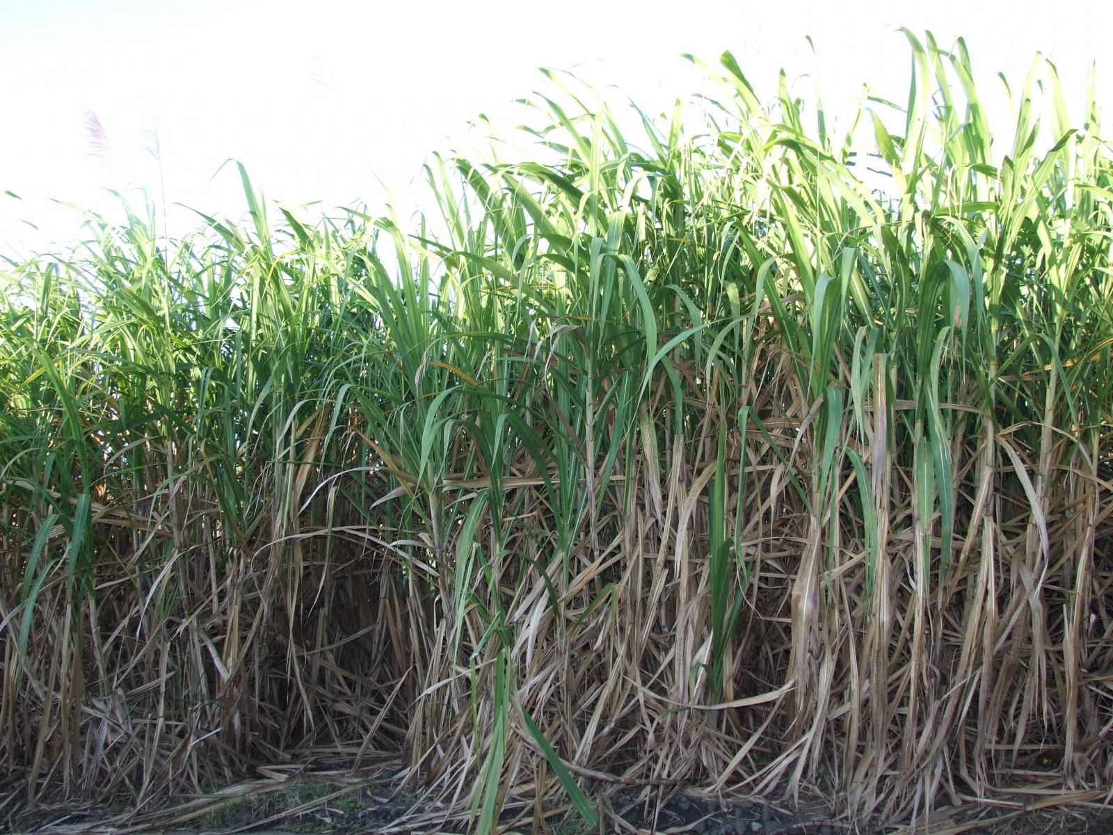 Forage crops: cereals, beans. List of fodder crops