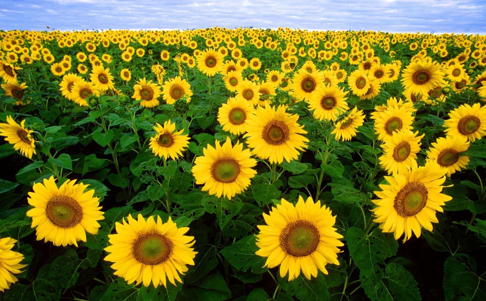 Sunflower general feedipedia sunflower plant izmirmasajfo