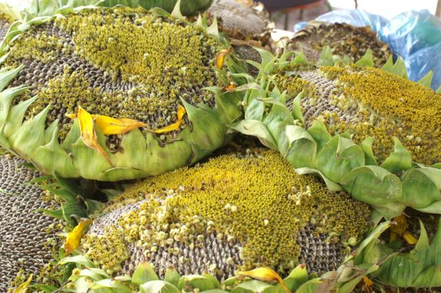 Image result for silage crop sunflower