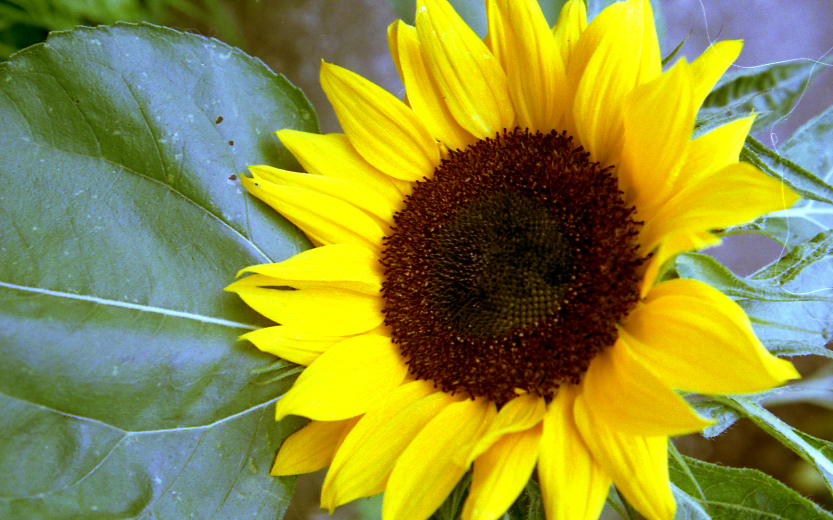 Sunflower General Feedipedia