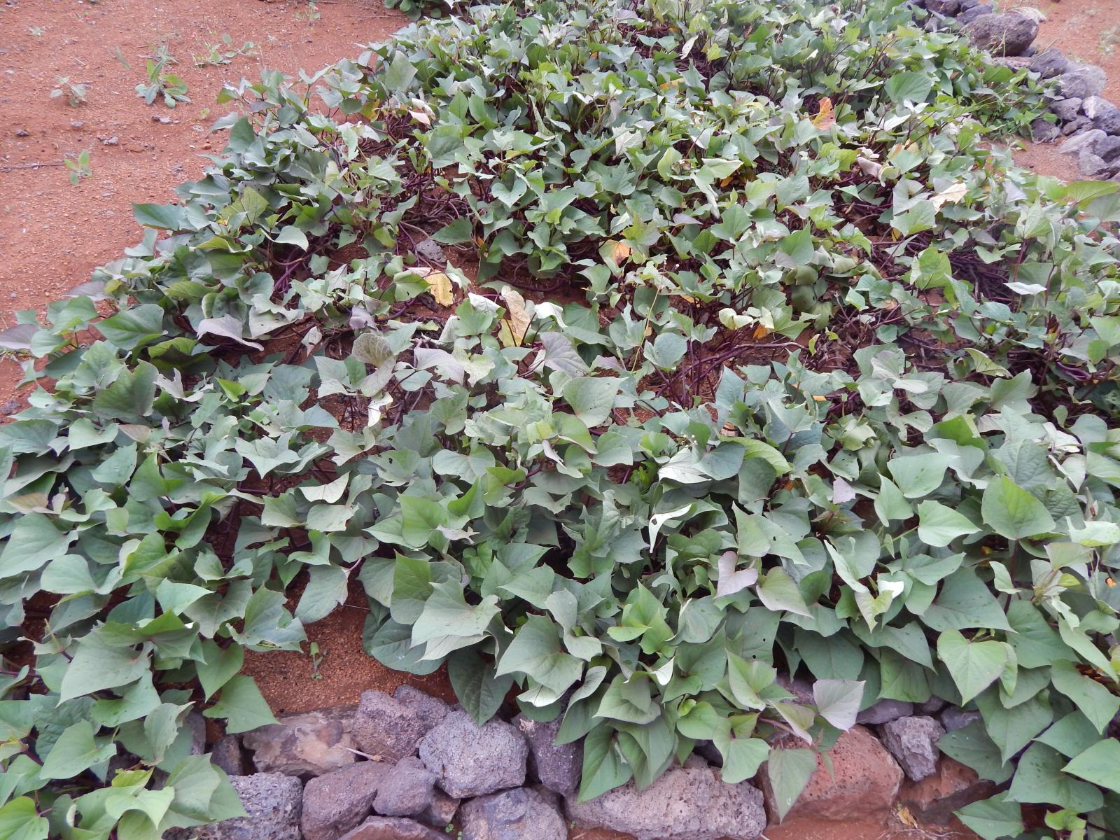 camote leaves health benefits