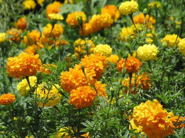 tagetes erecta Lutein from tagetes erecta new specifications prepared at the 63rd jecfa (2004) and published in fnp52 add 12 (2004) a group adi of 0 - 2 mg/kg bw for lutein from.