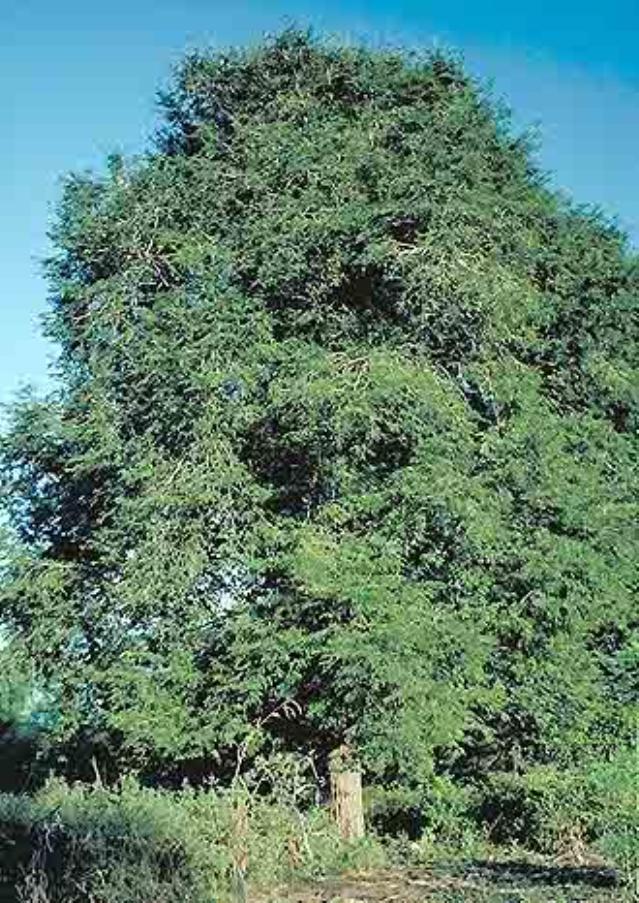 Tamarind (Tamarindus indica) | Feedipedia