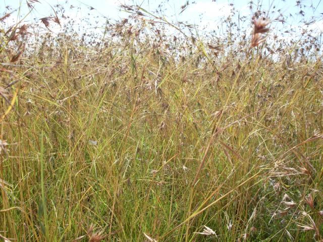 common oats Avena sativa is a annual growing to 09 m (3ft) by 01 m (0ft 4in) it is hardy to zone (uk) 2 and is not frost tender it is in flower from jun to july, and the seeds ripen from aug to october the species is hermaphrodite (has both male and female organs) and are pollinated by windthe plant is self-fertile.