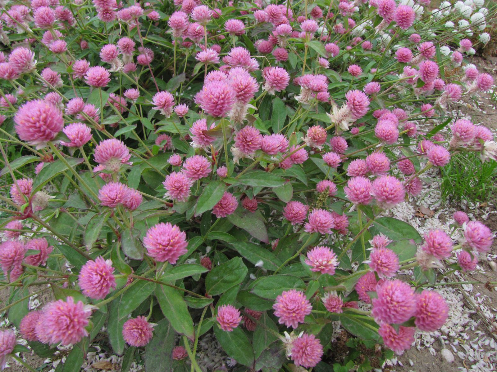 Red Clover Trifolium Pratense Feedipedia