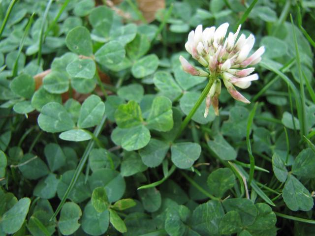 Trifolium hybridum (alsike clover): Go Botany