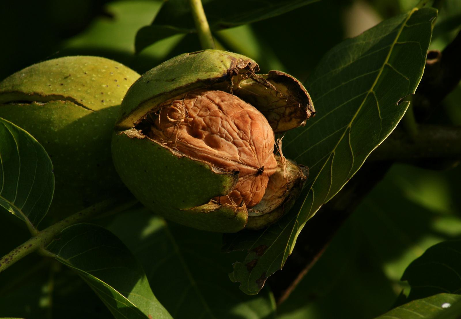 walnut juglans regia feedipedia. Black Bedroom Furniture Sets. Home Design Ideas