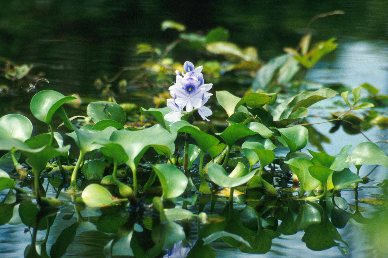 Water hyacinth eichhornia crassipes feedipedia for Pond plants names