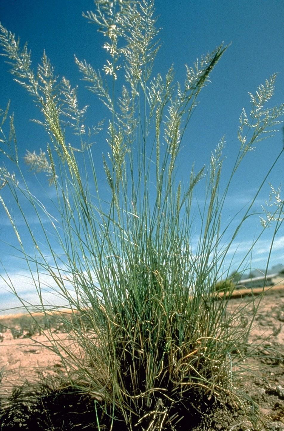 weeping love grass eragrostis curvula feedipedia