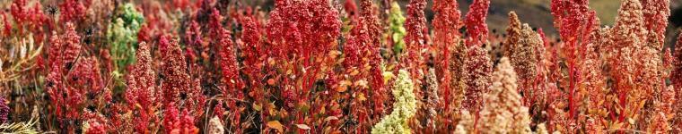 Quinoa (Chenopodium quinoa) panicle