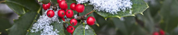 Holly (Ilex spp.) berries