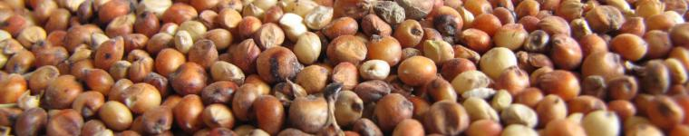 Sorghum grains, France