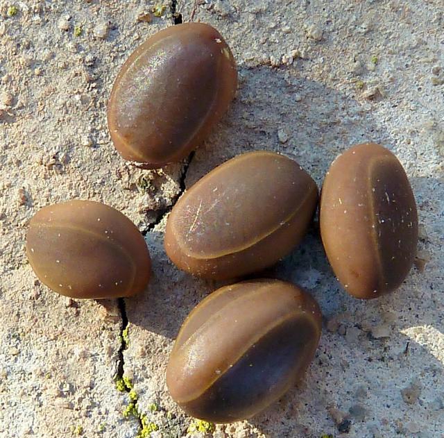 Huizache (Acacia farnesiana) seeds