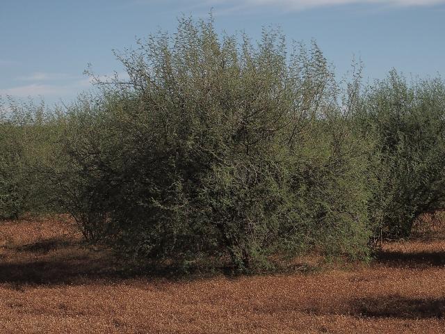 Huizache (Acacia farnesiana) habit