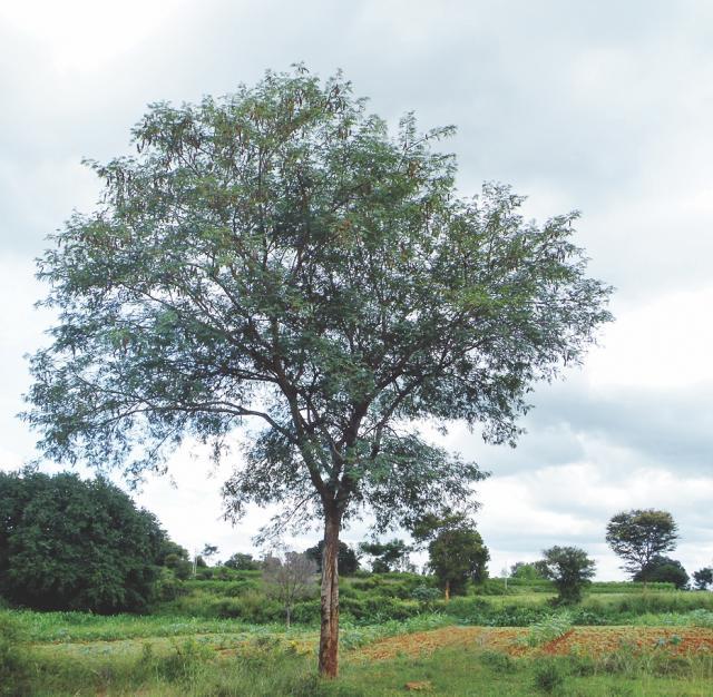 Albizia (Albizia amara) tree, India