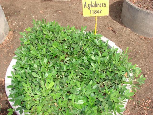 Rhizoma peanut (Arachis glabrata) foliage