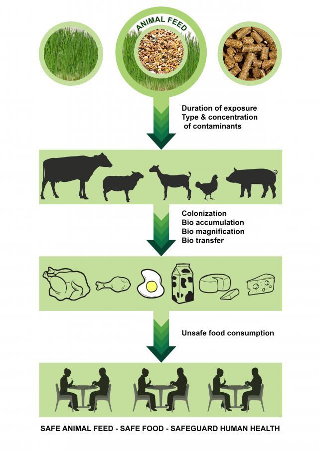 Feeding safe feed to livestock safeguards human health